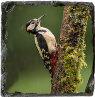 Greater Spotted Wood Pecker Slate Coaster FB_01_SSC